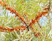 image of sea-buckthorn  - Branch with berries of sea buckthorn and green leaves on a background - JPG