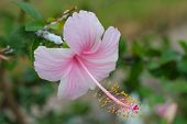 stock photo of hibiscus  - Pink hibiscus, Hibiscus Schizopetalus or Coral Hibiscus Flower, on tree.