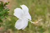 stock photo of hibiscus  - White hibiscus, Hibiscus Schizopetalus or Coral Hibiscus flower on tree