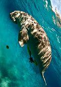 stock photo of sea cow  - dugong aka sea cow - JPG