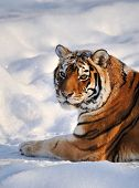 Siberian Tiger rest on Snow