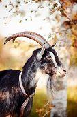 stock photo of goat horns  - The goat walks under a birch - JPG