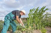 image of hoe  - middle aged farmer working his urban vegetable garden with a hoe - JPG