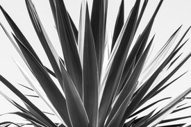 picture of mezcal  - close up of an agave black and white version - JPG