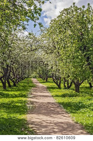 Alley With Blossoming Apple Trees