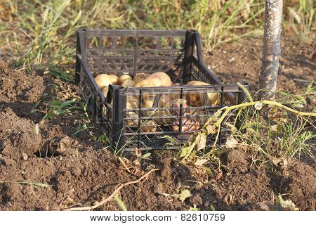 Just Fresh Dug Potatoes In A Box