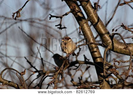 House Sparrow On A Twig