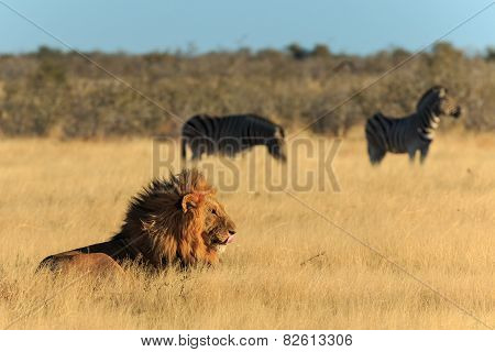 Lion Licking His Mouth, Zebras Background Have Nog Fear