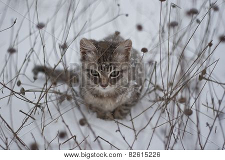 Grey Kitten In The Snow And Dry Grass