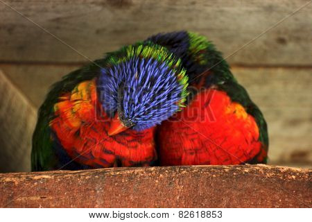 Snuggling Rainbow Lorikeet Couple