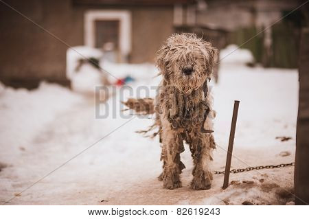 Shaggy Chained Old Dog  Looking Sad