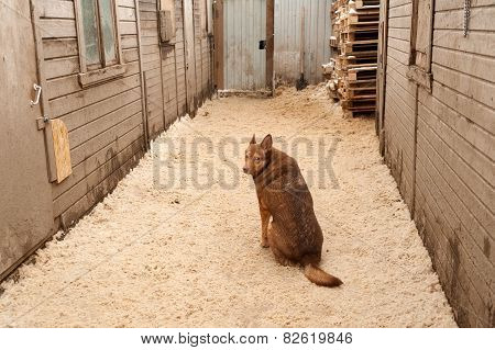 Red Dog Sits On Sawdust Between Building Modules