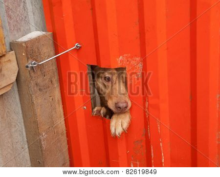 Red Dog Peeking Through Window In Orange Gate