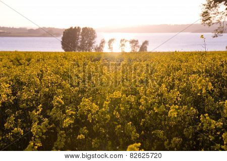 Rape flower meadow at sunset