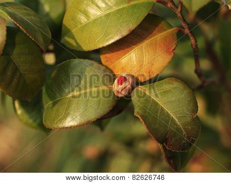 little camellia bud