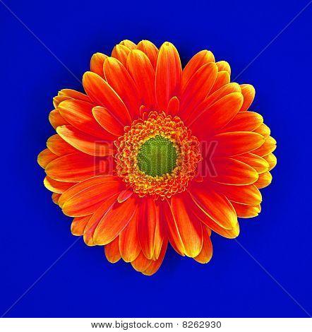 Gerboragh Flower On A Grainy Powder Blue Background