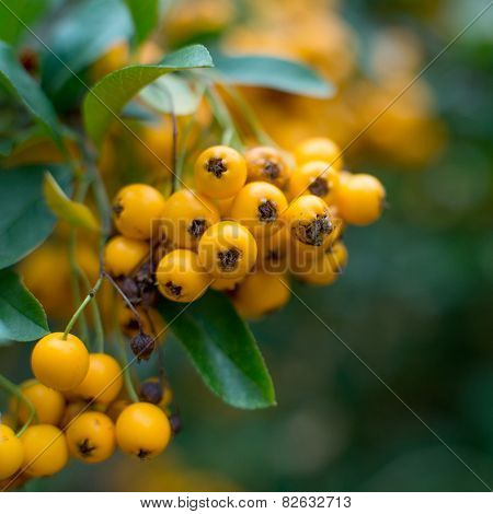 close-up photo of colorful autumnn rowan berries