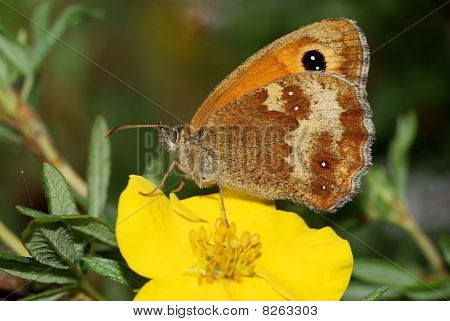 Gatekeeper Butterfly ,Pyronia tithonus