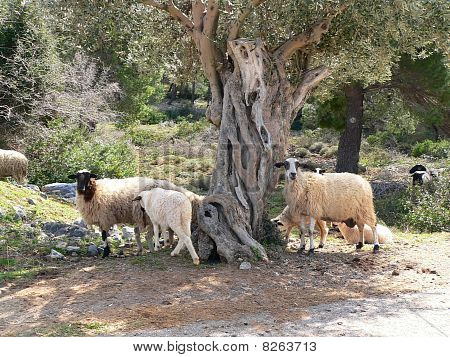 Sheep And Olive Tree