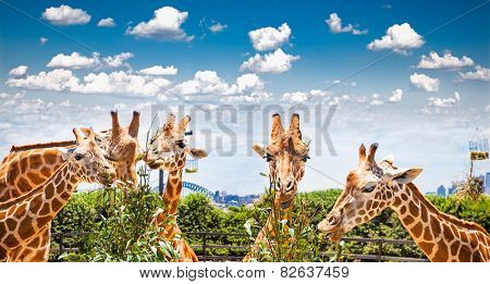 Giraffes at Taronga Zoo, Sydney looks towards the harbour bridge. Australia.