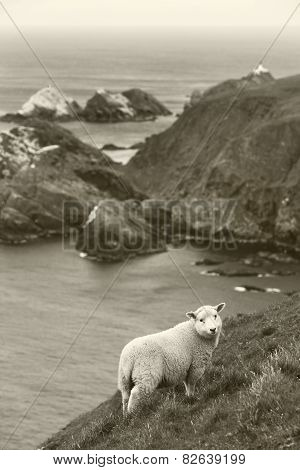 Scottish Coastline Landscape With Sheep. Shetland. Scotland