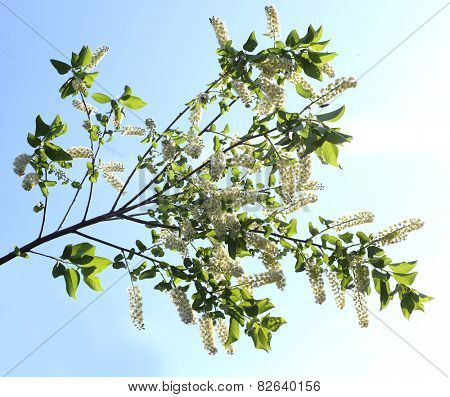 branch and blossom of bird cherry