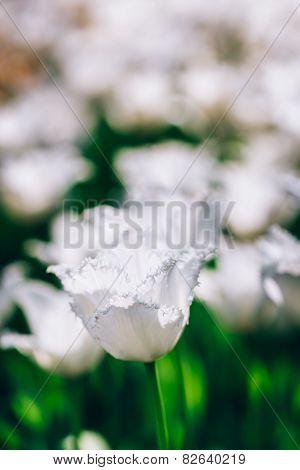 White Flowers Tulip In Spring Garden
