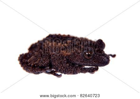 Theloderma gordoni, rare spieces of frog on white