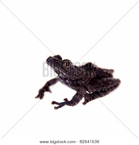 Theloderma horridum, rare spieces of frog on white