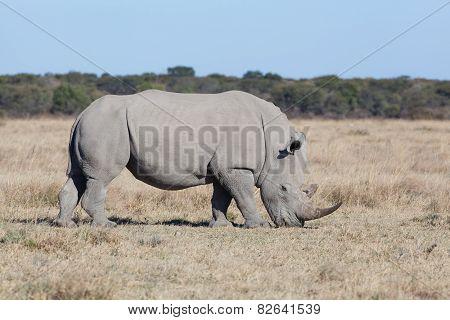 Grassing White Rhino