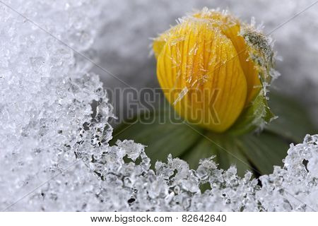 Winter Aconite, Lat. Eranthis Hyemalis  With Crystals On Flower Buds