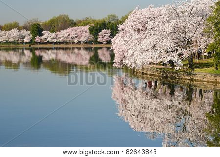 Washington DC - Cherry Blossom Festival at Tidal Basin in spring