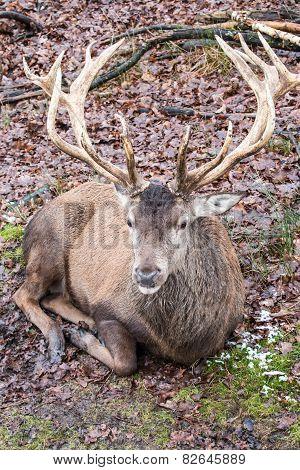 Resting Red Deer