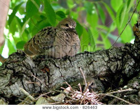 Dove fledglings at nest