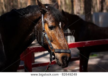 Brown Stallion. Portrait Of A Sports Brown Horse. Riding. Thoroughbred. Beautiful