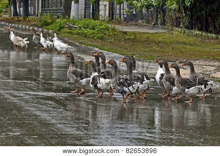 Group of many domestic ducks return  in the rain