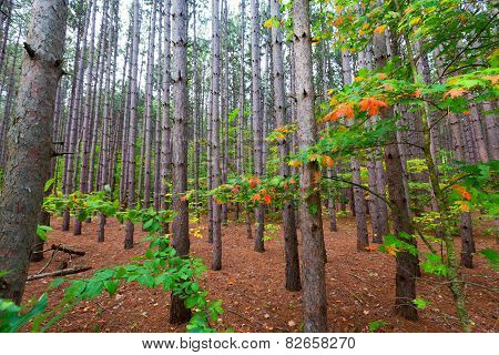 Stand Of Pine Tree Forest On Pierce Stocking Drive Within Sleeping Bear Dunes