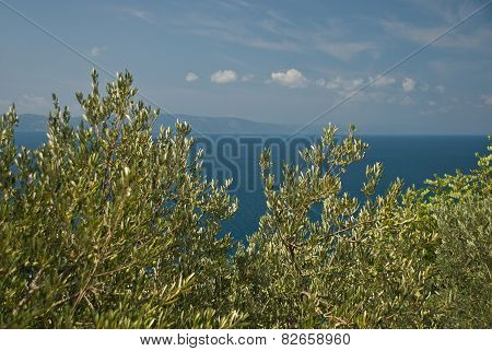 Green Olives On The Olive Tree