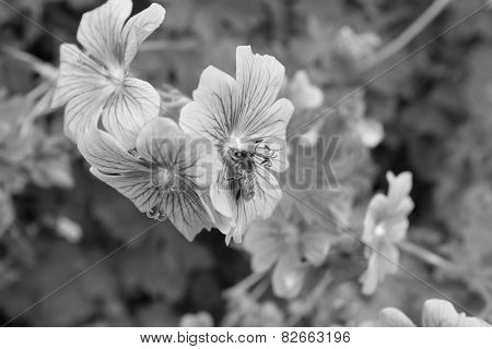 Honeybee Taking Nectar From A Geranium