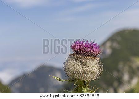 Alpine Thistle (carduus Defloratus)
