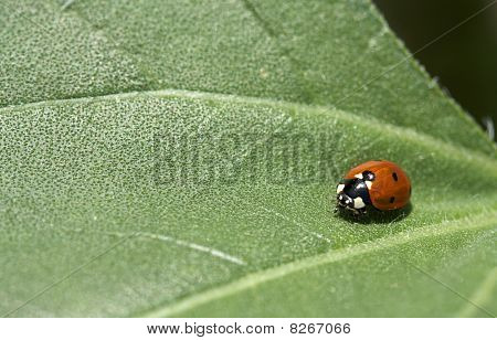 Macro Of A Ladybug On A Leaf