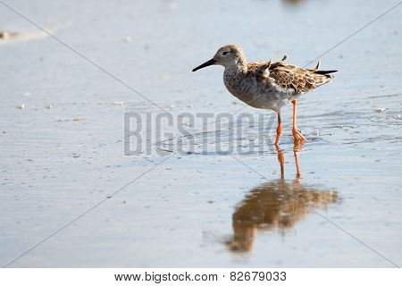 Female Ruff