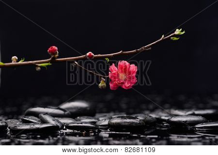 Still life with red Cherry blossom, with therapy stones