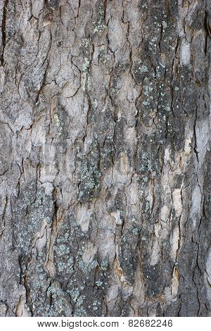 Maple Bark