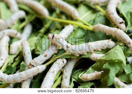 Silkworm Rearing Farm Fed Mulberry Leaves.