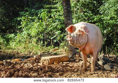 Pig standing in the sun