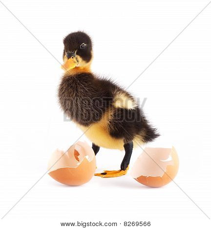 The Black Small Duckling With Egg