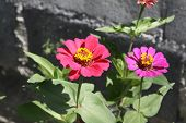 image of zinnias  - Zinnia flower, Zinnia flower in full bloom.