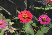 stock photo of zinnias  - Zinnia flower, Zinnia flower in full bloom.