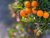 pic of tangerine-tree  - Mandarin Orange on tree with bokeh background - JPG